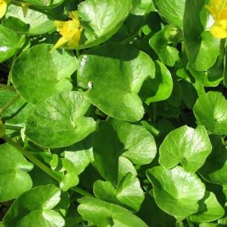 Ranunculus ficaria leaves