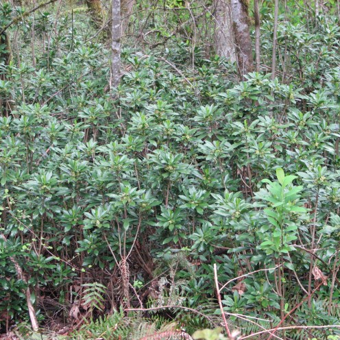 Spurge laurel infestation