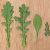 Senecio vulgaris varied leaf shapes
