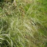 Phalaris arundinacea var. picta stems and leaves