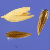 Phalaris arundinacea seeds