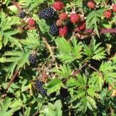 Rubus lacinatus fruits