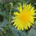 Sonchus arvensis ssp. arvensis flower head
