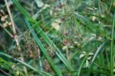 Scirpus microcarpus inflorescence