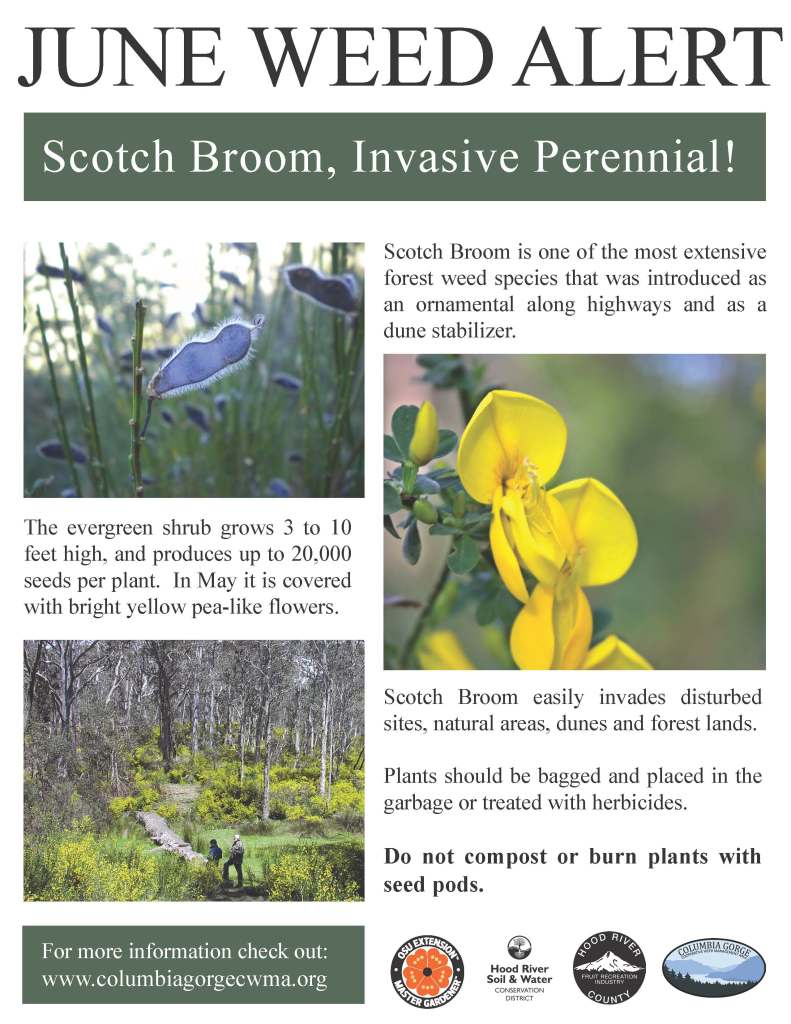 Scotch broom Weed Alert Poster (2)