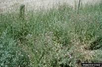 Meadow knapweed infestation
