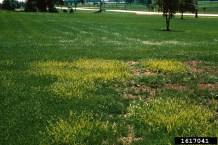 Yellow nutsedge infestation