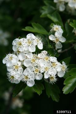 English hawthorn flowers