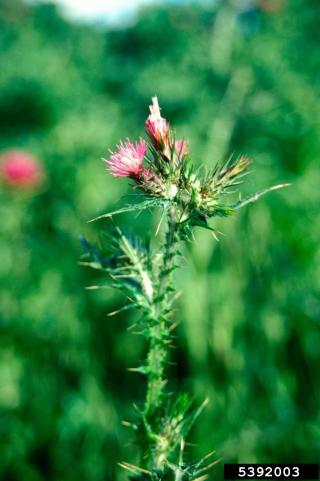 Italian plumeless thistle (Carduus pycnocephalus) flowers