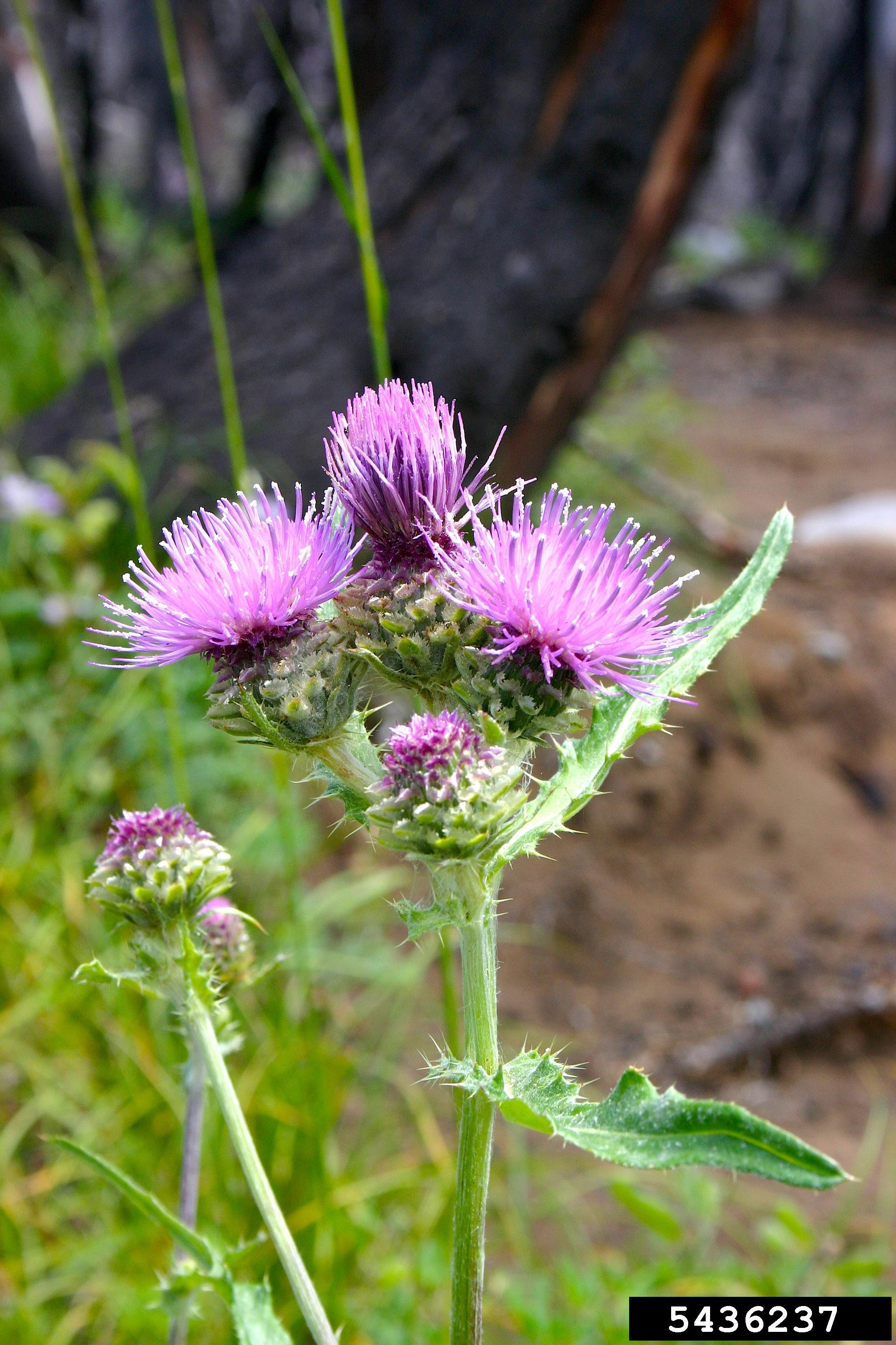 Think twice before killing those thistles: Thistle Identification ...