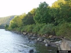 False Indigo Bush along a river