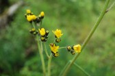 Meadow hawkweed flower heads