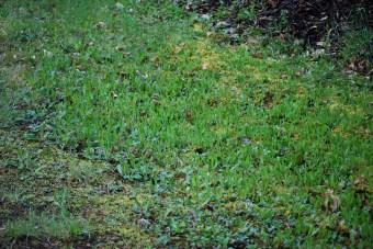 Orange hawkweed infestation