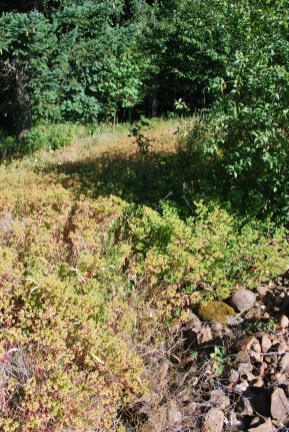 Oblong spurge infestation