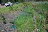 Goatsrue removed along pond