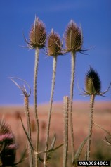Common teasel persistent dead flower heads