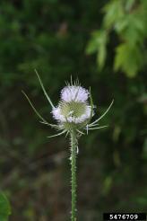 Common teasel flower head