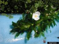 South American waterweed flower