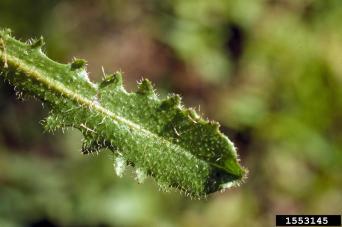 Hairy cat's ear leaf