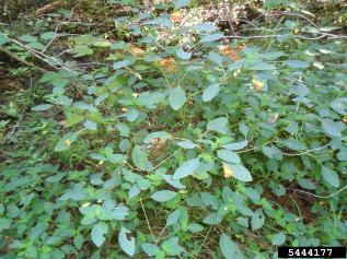 Jewelweed infestation