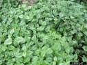 Yellow archangel infestation