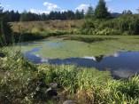 yellow flag iris surrounding a pond