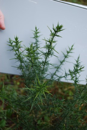 young gorse plant with spines