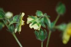 Sulphur cinquefoil flower bracts