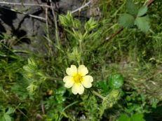 sulphur cinquefoil flower