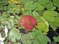 Fragrant water lily leaves, showing reddish underside