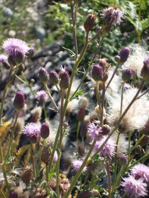 Canada thistle plant seeding