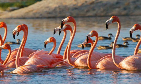 necker islands flamingos