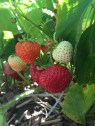 Strawberry Picking Maxwells Farm (4)