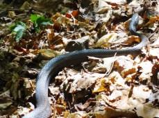 2nd Black Rat Snake
