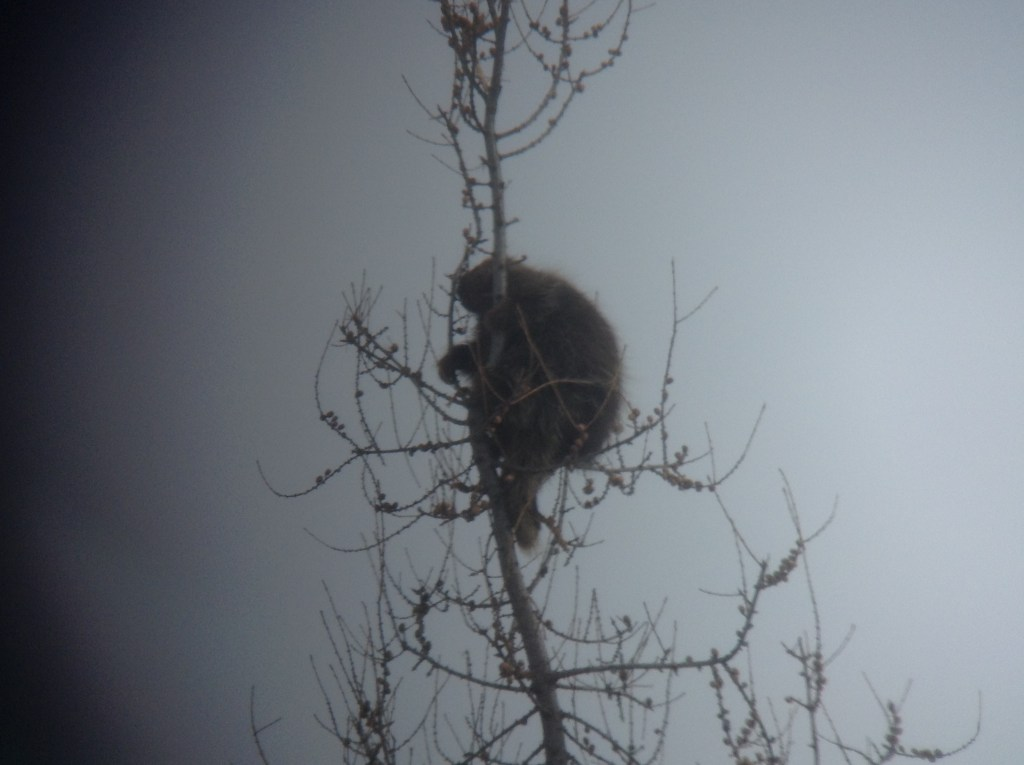 Digiscoped photo of North American Porcupine