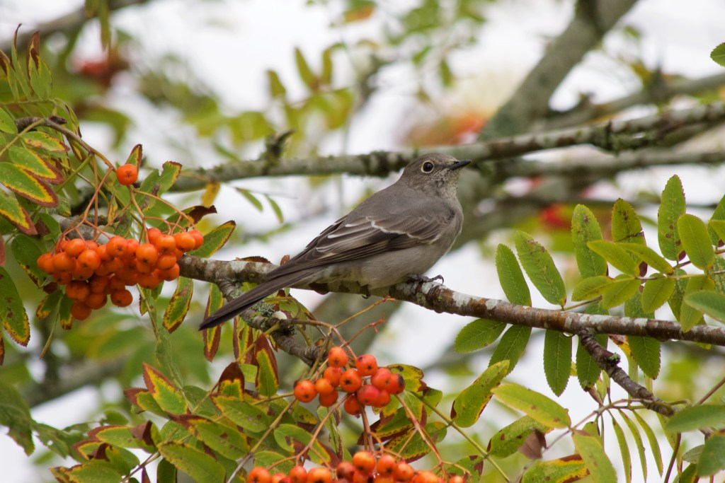 Townsend's Solitaire on Lulu Island in Richmond