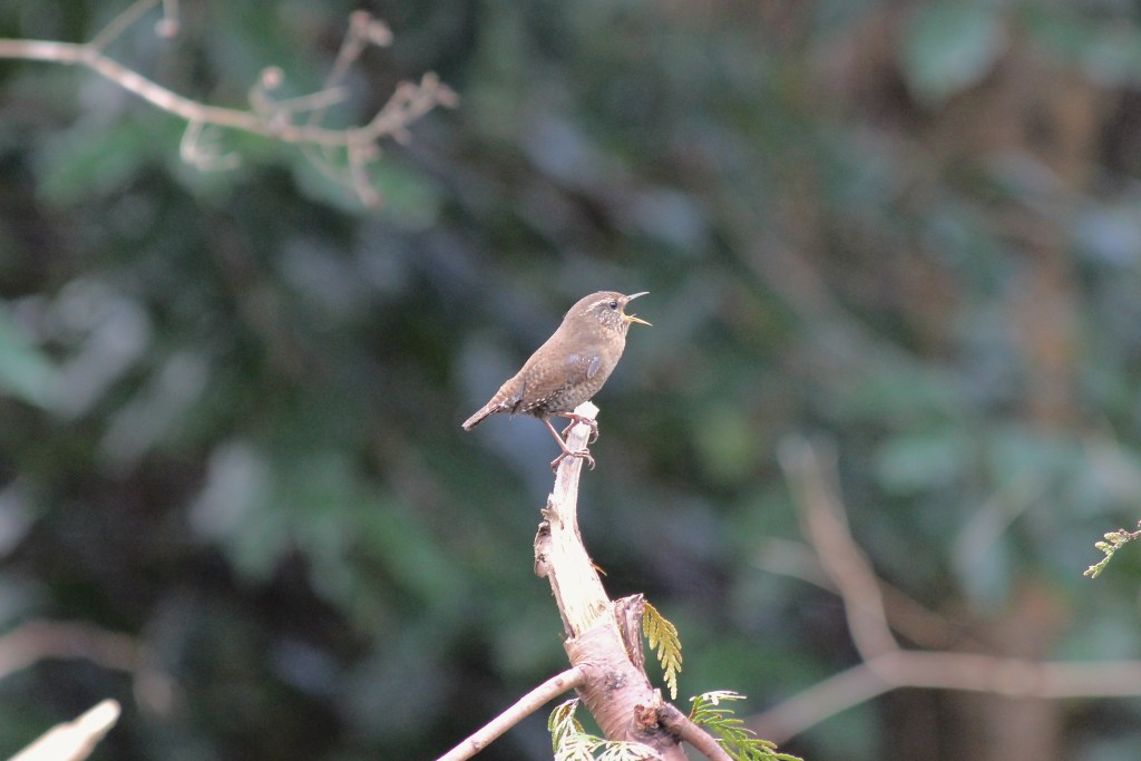 Pacific Wren singing