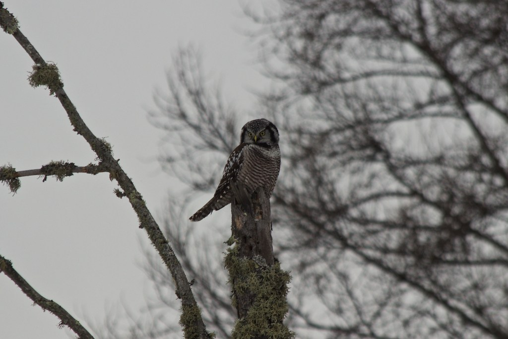Northern Hawl Owl at Sax-Zim Bog (previous year)
