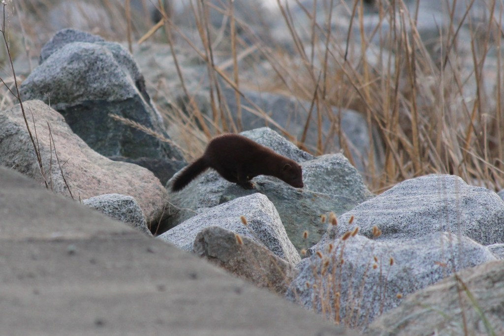 A Marmot hunts in the rocks along Iona Island's south jetty