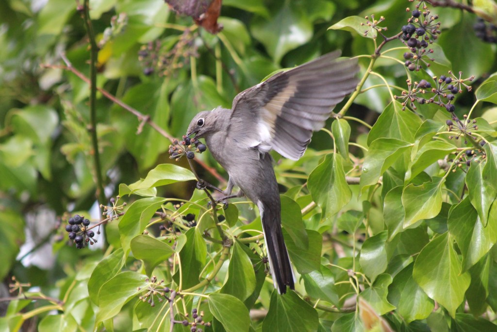 Townsend's Solitaire at Cecil Green Park on UBC campus in Vancouver