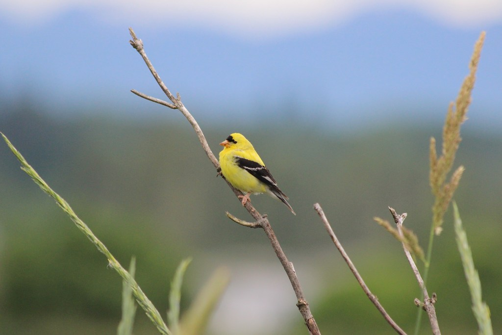 American Goldfinch in Vancouver in the spring