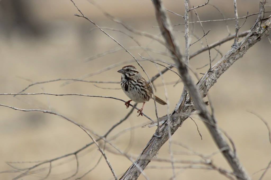 A Song Sparrow decided to perch up for me at Adams Homestead and Nature Preserve