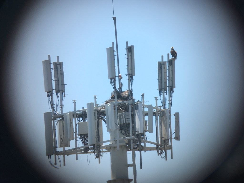An adult and two fledgling Bald Eagles on a tower at the Tsawwassen Ferry jetty