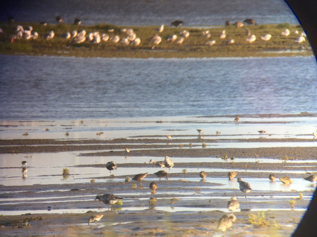 Mixed shorebirds on the Brunswick Point mudflats