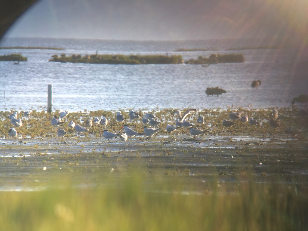 Lots of Caspian Terns taking a break on the flats