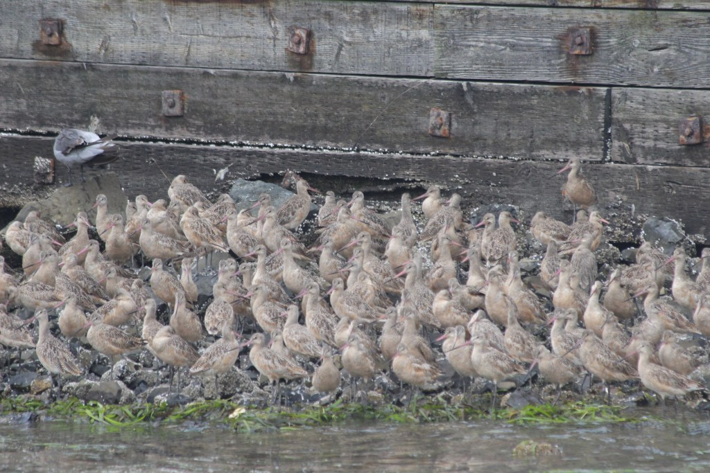 As this photo suggests, it's much easier to find Marbled Godwit if you're in Westport, OR