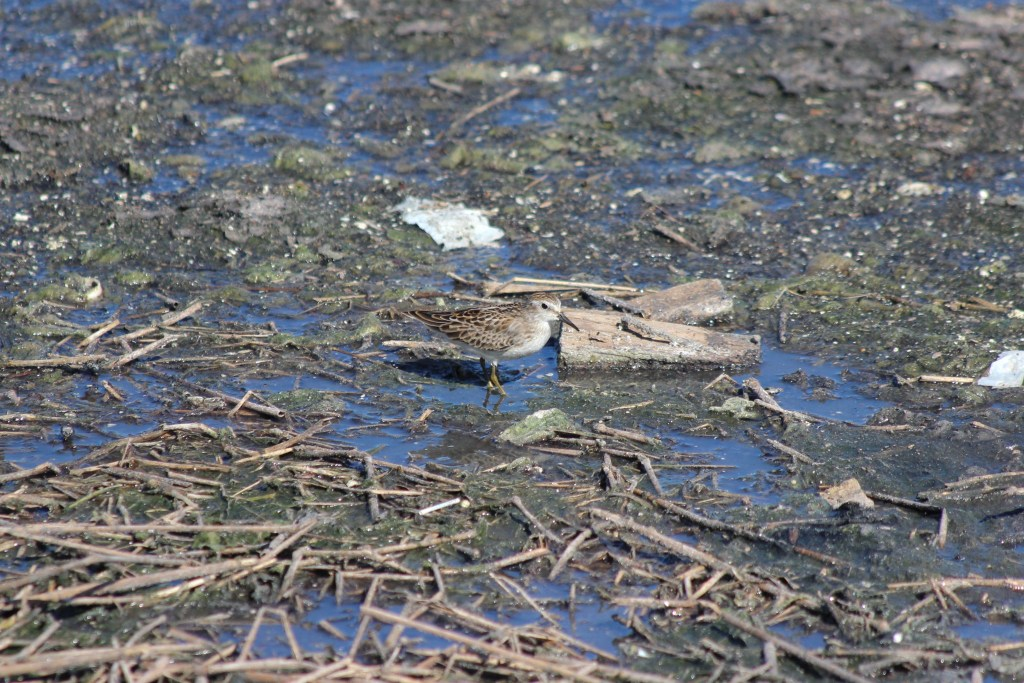 Least Sandpiper at Iona Island sewage ponds in Richmond BC