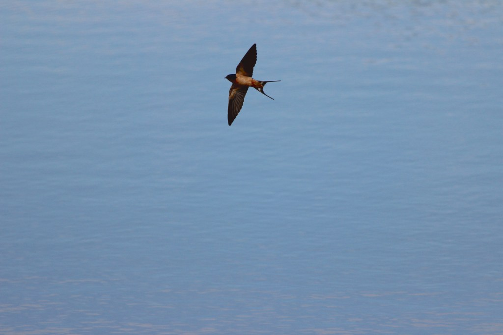 A Barn Swallow forages above the ponds
