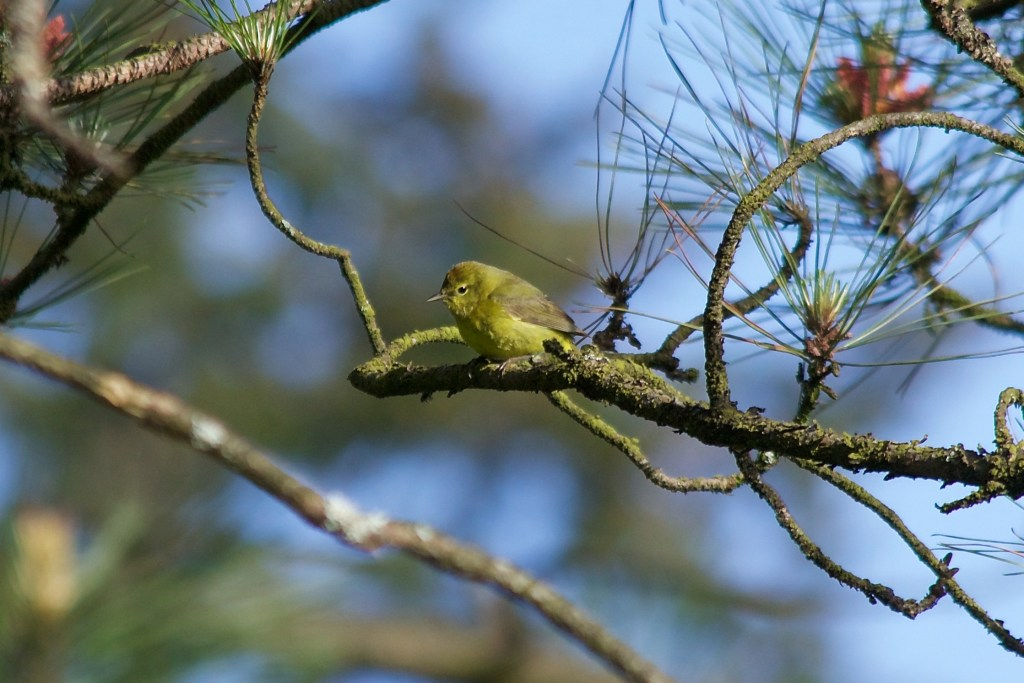 Orange-crowned Warbler; lutescens subspecies