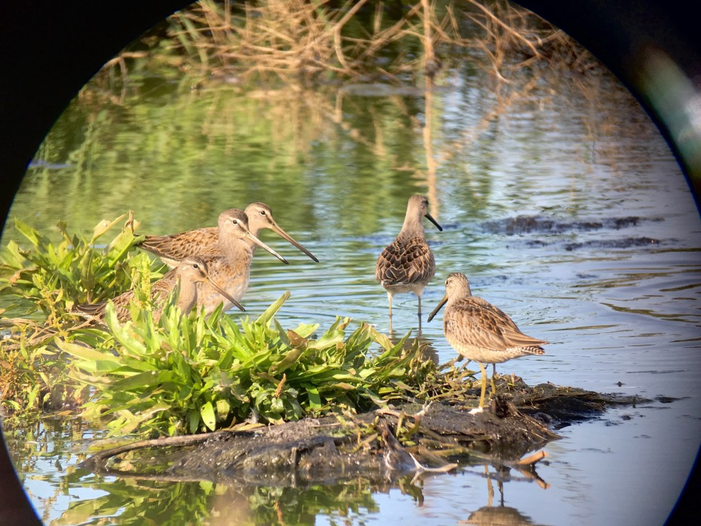This must be one of the best free-hand digiscoped photos I've ever taken. These Long-billed Dowitcher were calmly feeding in the southwest inner pond.